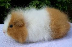 Guinea pig breed: Swiss