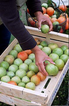 Tomates vertes rangées dans une cagette pour les faire mûrir, Potager de Saint-Jean-de-Frenelles, photo Boucourt Franck / Cap-photos