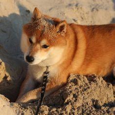 Eiyu the Shiba Inu is looking good on Pack. Animals And Pets, Cute Animals, Enjoying The Sun, Cool Pets, Shiba Inu, Akita, Beautiful Dogs, Doge, Beautiful Creatures