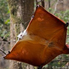 Giant Flying Squirrel.  They don't technically fly, but they glide. Glides of up to 250-feet long have been reported.