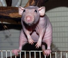 Hairless rat balancing on feet (the feet & hands & ears & wrinkles are so cute!)