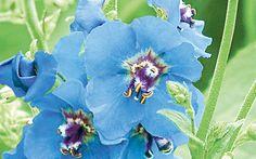 Blue Verbascum