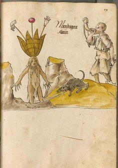 Bayerische Staatsbibliothek, BSB Cod.icon. 26. Arzneipflanzenbuch. Augsburg?, 1520 - 1530