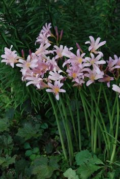 These will be in my garden someday! They are nick-named Naked Ladies, and I love how they seem to defy gravity!