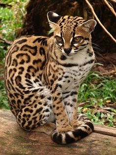 Gato-maracajá The Margay, a spotted cat native to the Americas, is a solitary & nocturnal animal. It's closely related to the ocelot & the oncilla, but the margay is larger, weighing @ lbs. They're skillful climbers & spend most of their lives in the r Pretty Cats, Beautiful Cats, Animals Beautiful, Trees Beautiful, Pretty Kitty, Beautiful Pictures, Nature Animals, Animals And Pets, Cute Animals