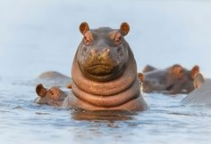 """I got my eye on you!"" Photographer Brendon Cremer said this young hippo was very interested in his onlookers. Let's just hope he wasn't a ""hungry hippo"". See more w/ Twisted Sifter."