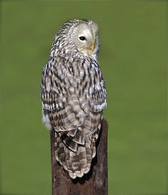 Ural owl by barnowlterry, via Flickr