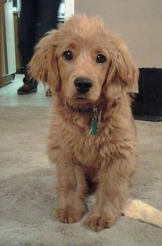 Golden Cocker retriever.