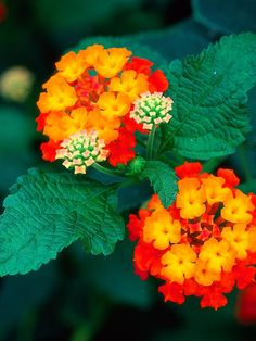 This is an Exotic Summer Flower.It has really pretty colors. Called lantana camara is flowering exotic for sunny spot. me encantan estas plantas, hay diferentes colores Exotic Plants, Exotic Flowers, Amazing Flowers, Beautiful Flowers, Orange Flowers, Red Shrubs, Evergreen Shrubs, Lantana Plant, Lantana Flower