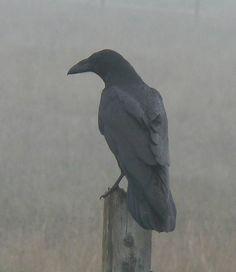 Raven in fog (Corvus corax)