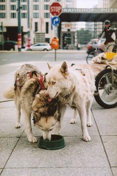 husky's #dog #husky #animal