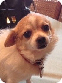 Beavercreek, OH - Chihuahua. Meet BOO BOO a Dog for Adoption.