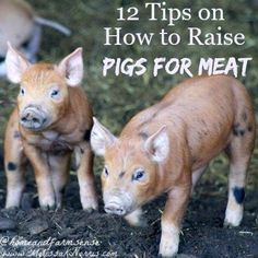 Interested in raising pigs for meat on your small farm, homesteads, or backyards? Here are 12 tips to ensure your success! #raisingpigs #smallfarm #homestead Raising Farm Animals, Raising Chickens, Pigs Raising, Pig Farming, Backyard Farming, Farming Ideas, Backyard Ducks, Backyard Chickens, Backyard Patio