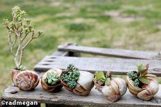 radmegan: em palavras e imagens em miniatura: Jardins: Shell-Potted Suculentas