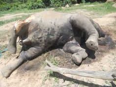 Poachers massacre 26 elephants after breaking into their protected sanctuary and slaughtering them for their tusks