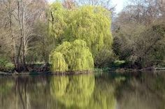 How to Grow Weeping Willows From Cuttings thumbnail
