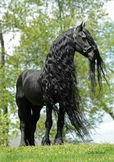 Friesian horses were used by the knights of the Middle Ages to charge into battle. They are so beautiful and majestic. (I love the long hair it's anyways that's what I know about friesian horses -Sadira All The Pretty Horses, Beautiful Horses, Animals Beautiful, Cute Animals, Wild Animals, Black Horses, Wild Horses, Dark Horse, Horse Pictures