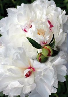My mom grew this type of peony. They have the most heavenly scent. My attempts to coax blooms have been less than steller! No green thumbs on these hands. by Hercio Dias
