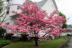 Pink Dogwood Tree by LaVeta Jude, via Flickr