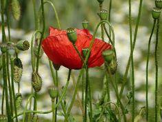 #bloom #blossom #flower #nature #poppy #red #summer