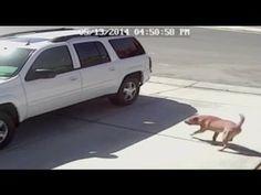 Brutalement attaqué par un chien enragé, un chat sauve un enfant des cros du maudit clébard.