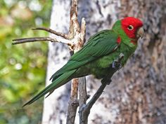 Red-masked Parakeet aka Red-masked Conure (Aratinga erythrogenys) by Dick Daniels