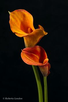 Calla Lilies Amazing Flowers, Love Flowers, Exotic Beauties, Calla Lilies, Different Flowers, Simply Beautiful, Trees To Plant, Black Backgrounds, Greenery