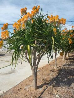 Aloe tongaensis 'Medusa' is a medium-to-large sized tree Aloe, growing up to 12 feet (3.6 m) tall with heavily branching stems and thin...