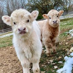 60 Funny Furry Animals To Brighten Your . - 60 Funny Furry Animals To Brighten Your Day Cute Baby Cow, Baby Cows, Cute Cows, Baby Farm Animals, Baby Elephants, Baby Sheep, Garden Animals, Fluffy Cows, Fluffy Animals