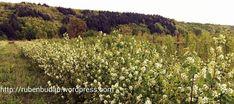 Perioada de înflorire la afinul canadian Vineyard, Outdoor, Farm Gate, Plant, Outdoors, Vine Yard, Vineyard Vines, Outdoor Games, The Great Outdoors
