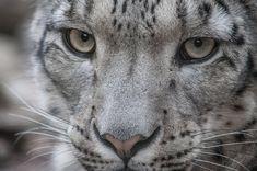 Snowleopard, KA XIII by Areksim on DeviantArt