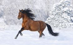 pictures of horses | arabian, horse, horses, running, snowland - 160694