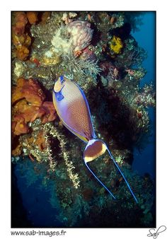Surgeonfish - Liberty wreck dive- Bali,  Indonesia My first wreck dive!