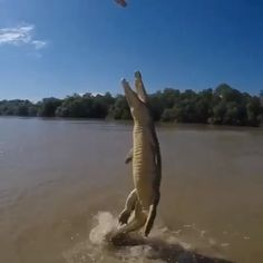 The famous jumping krokodile of the Adelaide river. The saltwater krokodile, riesige power - Informationen zu The famous jumping crocodiles of the Adelaide river. The saltwater crocodiles immense power Pin Sie können Funny Animal Videos, Cute Funny Animals, Animal Memes, Nature Animals, Animals And Pets, Amphibians, Reptiles, Beautiful Creatures, Animals Beautiful
