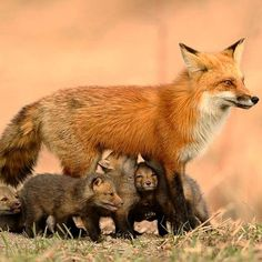 Red fox and her kits 🦊🖤 Animals And Pets, Baby Animals, Cute Animals, Wild Animals, Beautiful Creatures, Animals Beautiful, Fantastic Fox, Foxes Photography, Fox Illustration