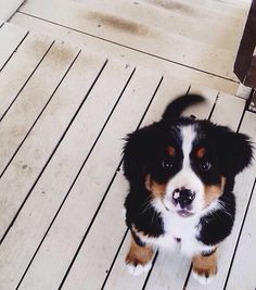 19 Bernese Mountain Puppies Who Just Want To Make Your Day Better Chiot Bouvier Bernois ♥ Cute Puppies, Cute Dogs, Dogs And Puppies, Doggies, Beagle Puppies, Animals And Pets, Baby Animals, Cute Animals, Animals Photos