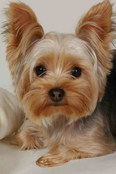 Everything you need to know about Yorkshire Terriers. Yorkies, Yorkie Puppy, Puppy Face, Yorky Terrier, Terrier Dogs, Beautiful Dogs, Animals Beautiful, Cute Animals, Perros Yorkshire Terrier