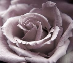 dusty lavender rose