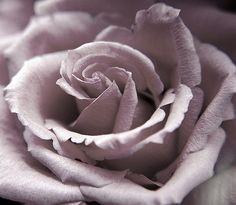 dusty lavender rose