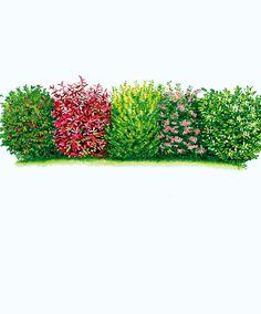 Hedge row with different plants - more interesting than a cedar hedge  - 1 Cherry Laurel (Prunus laurocerasus)  - 1 Wayfaring tree (Viburnum lantana)  - 1 Oval leafed privet (Ligustrum ovalifolium)  - 1 Christmas Berry (Photinia x fraseri 'Red Robin')  - 1 Holly (Ilex aquifolium)