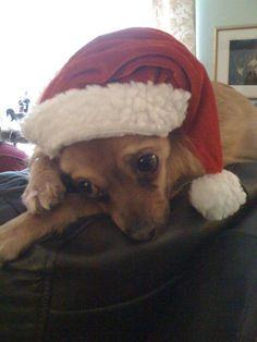 Overwhelmed by Christmas fun. Winston Zedmore Fox. Red Long Coat Deer Head Chihuahua, Halifax Nova Scotia.