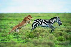 Rei dos animais: veja 15 curiosidades sobre os leões