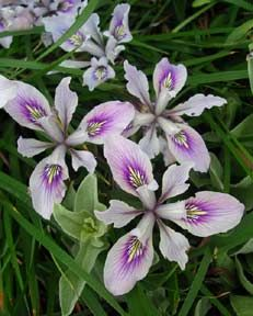 Iris douglasiana 'Light Lavender/Blue' aa deer resist, clay tol, under oaks, drought tol, native