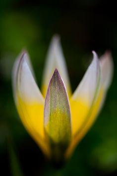 [Photos des auteurs] Tulipe botanique © Jérôme Geoffroy @generationimage #macro #photo