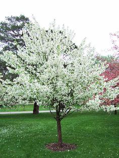 "Snowdrift Snowdrift crabapple. 15 x 15.  Dark green foilage, orange-red 3/8"" diameter fruit, single expanding pink buds that open in an abundant white bloom in spring.  Good vigorous grower."