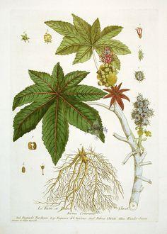 Castor Bean Plant (1100×1539)