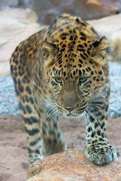 Gorgeous Leopard on the prowl!