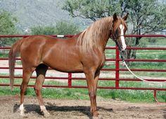 Sabreen Al Abbasiyah (Safir KA x Rummani) 2009 chestnut mare bred by Al Abbasiyah, Arizona