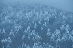 White tipped fir trees - free stock photo #freeimages #freephotos