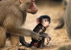 A hamadryas baboon cub is touched by its mother in their enclosure at the zoo in Berlin, Germany  Picture: AP